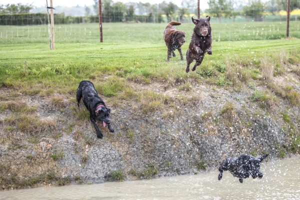 Two large dogs leaping into a pond, while two large dogs watch from its raised bank.