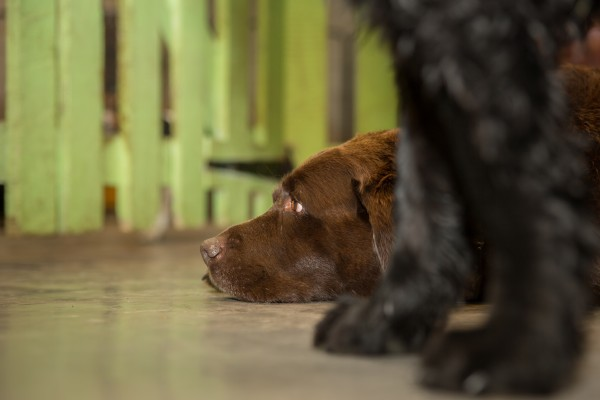 Close-up of a large brown dog lying on concrete floor indoors, zoomed in on its head.