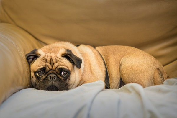 Light brown pug lying in the corner of sofa, looking cutely off to the side.