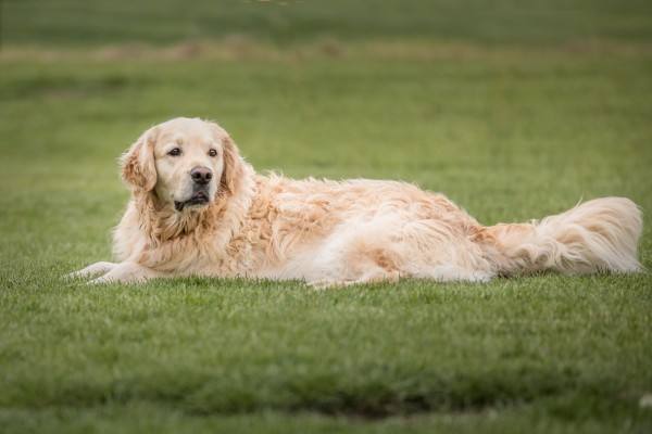 Golden Retriever lying in grass, its head raised.