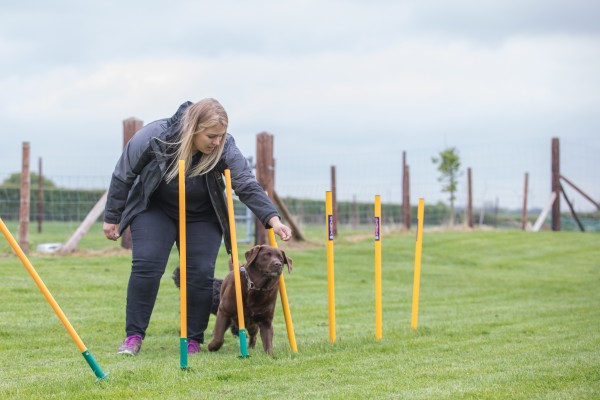 Dog weaving through agility poles in a field with female team member holding treat.