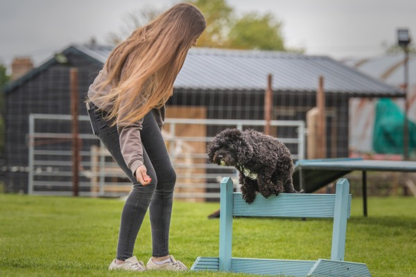 Small black dog jumping over low hurdle in a field with female team member holding treat in front.