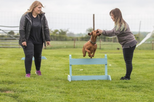 Medium brown dog enthusiastically jumping over hurdle whilst trying to eat treat a team member is holding.