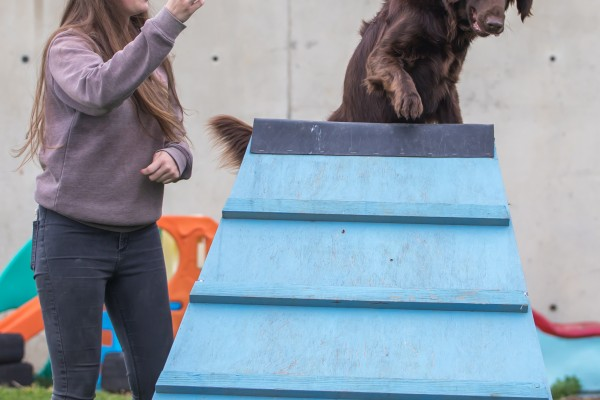 Large brown dog carefully climbing over an a-frame with female team member encouraging it.