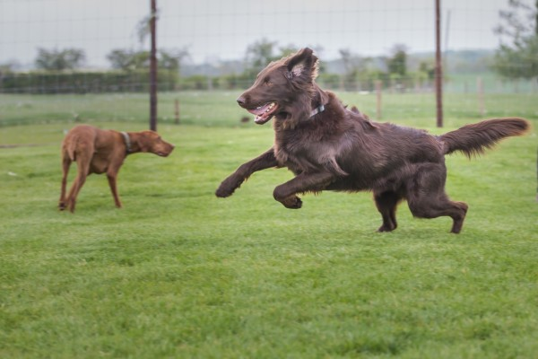 Large brown dog jumping in the air in a field, other large dog walking behind.