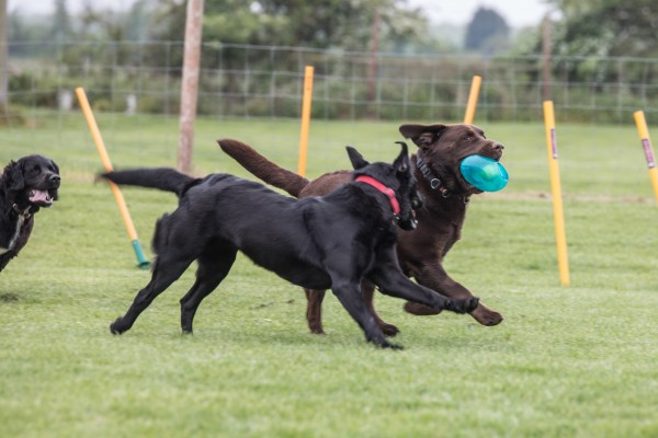Large brown dog running in field with toy, other large dog running along and eyeing the toy.