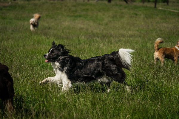 Long haired big dog strutting through a field surrounded by smaller dogs
