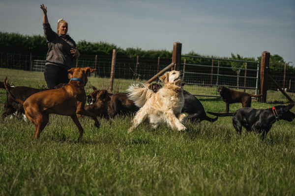 A group of large dogs jumping and running up to catch the item a female team member is throwing