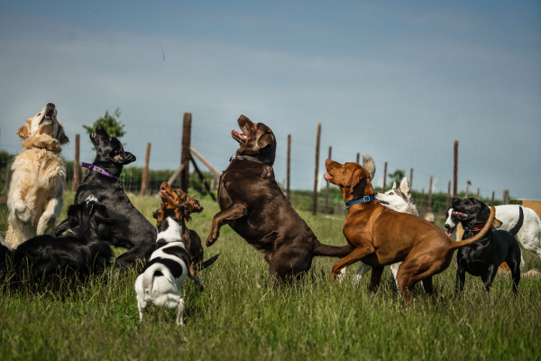 Large group of dogs in field all jumping up to catch an item out of frame