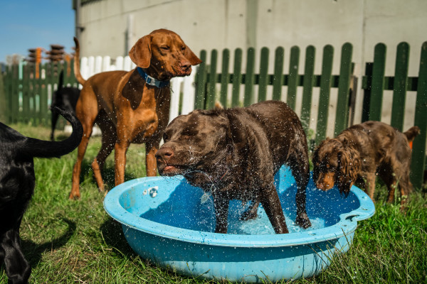 Big dog standing in a small paddling pool in a field shaking water out surrounded by other dogs